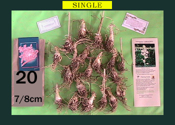 order 20 pc tuberose bulbs