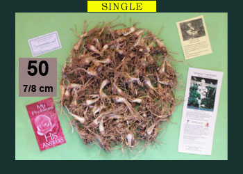 order 50 pc tuberose bulbs
