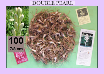 order 100 pc double pearl tuberose bulbs