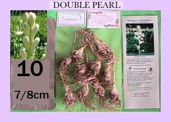 order 10 pc double pearl tuberose bulbs