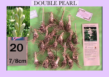 order 20 pc double pearl tuberose bulbs