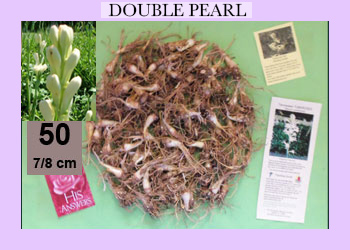 order 50 pc double pearl tuberose bulbs