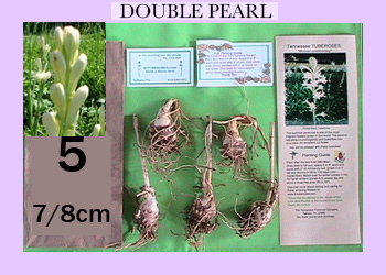 order 5 pc double pearl tuberose bulbs
