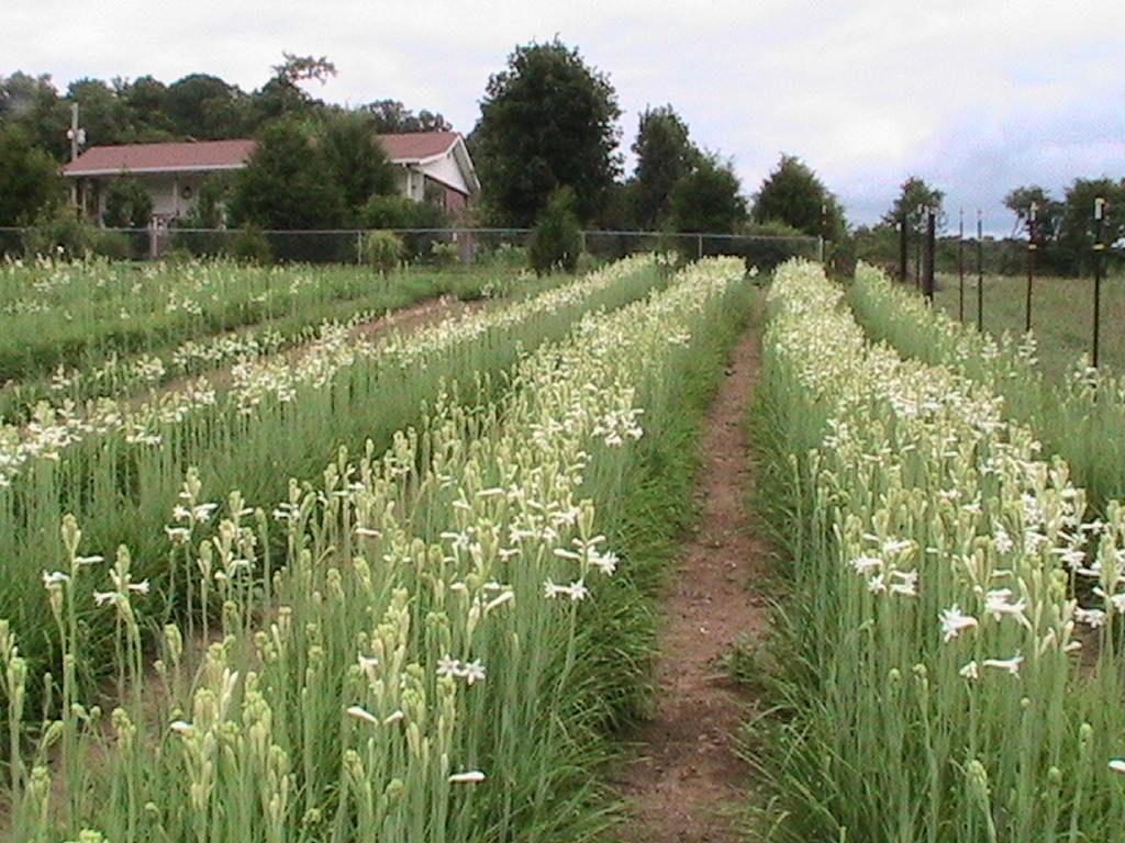 field of tuberoses