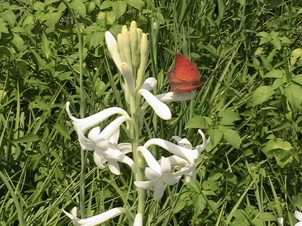 tuberose and butterfly