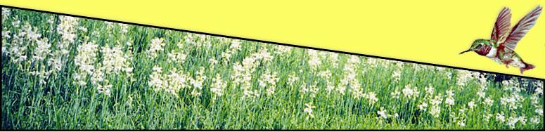 field tuberose banner