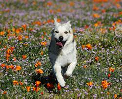 dog running in flowers